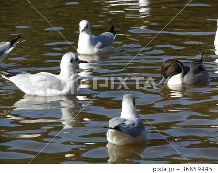 稲毛海浜公園の池に来た冬の渡り鳥ユリカモメとオナガガモ 36859945