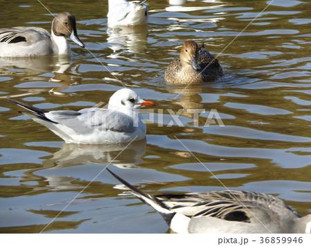 稲毛海浜公園の池に来た冬の渡り鳥ユリカモメとオナガガモ 36859946