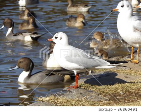 稲毛海浜公園の池に来た冬の渡り鳥ユリカモメとオナガガモ 36860491