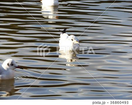 稲毛海浜公園の池に来た冬の渡り鳥ユリカモメ 36860493