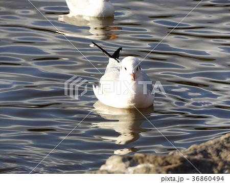 稲毛海浜公園の池に来た冬の渡り鳥ユリカモメ 36860494