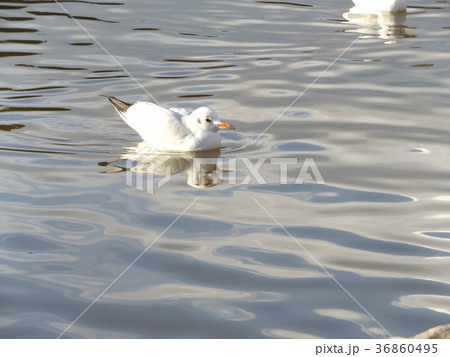 稲毛海浜公園の池に来た冬の渡り鳥ユリカモメ 36860495