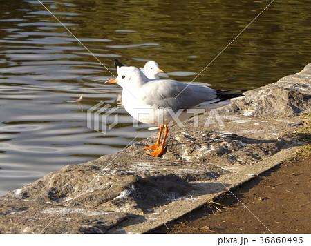 稲毛海浜公園の池に来た冬の渡り鳥ユリカモメ 36860496