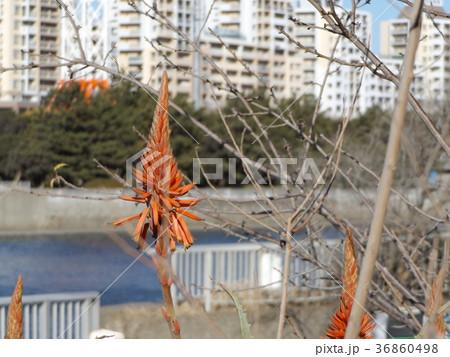 赤い花を咲かせたキダチアロエ 36860498