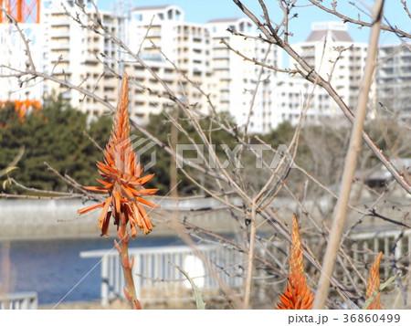 赤い花を咲かせたキダチアロエ 36860499