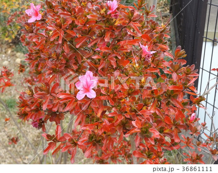 赤い葉っぱと綺麗な花はサツキでしょうか? 36861111