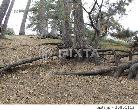 昔の稲毛海岸の黒松の林の浮き根 36861113