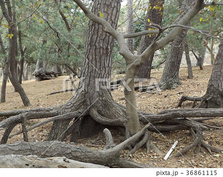 昔の稲毛海岸の黒松の林の浮き根 36861115