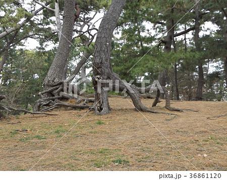昔の稲毛海岸の黒松の林の浮き根 36861120