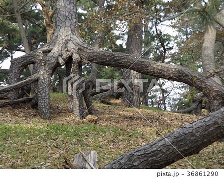 昔の稲毛海岸の黒松の林の浮き根 36861290