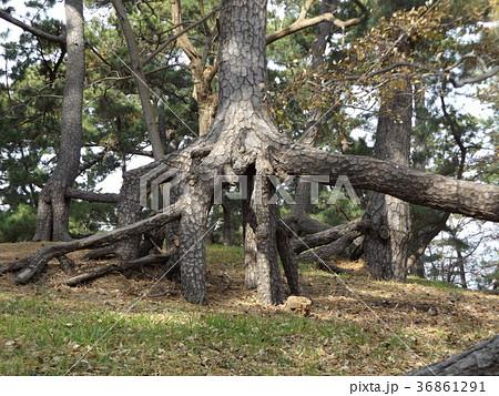 昔の稲毛海岸の黒松の林の浮き根 36861291