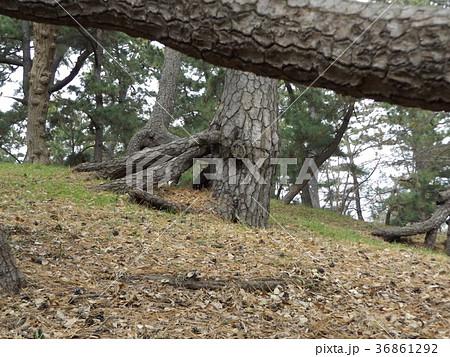 昔の稲毛海岸の黒松の林の浮き根 36861292
