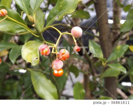 寒さ厳しい冬になって実が裂開し種を覗かしたマサキ 36861611
