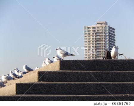 検見川浜に来た冬の渡り鳥ユリカモメ 36861769