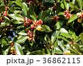 トベラ 果実 実の写真 36862115