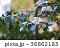 ツバキの花 36862183