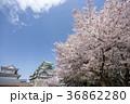 満開の桜と名古屋城 36862280