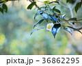 ツバキの花 36862295
