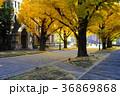 並木 黄葉 落葉の写真 36869868