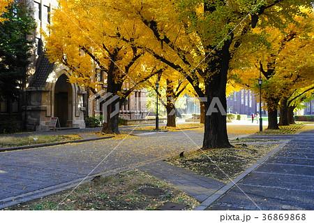 12月 東京大学46イチョウ並木の黄葉と落葉 36869868