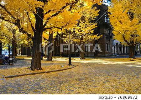 12月 東京大学50イチョウ並木の黄葉と落葉 36869872