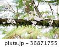 桜 春 枝の写真 36871755