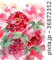 牡丹 大輪 花のイラスト 36872352