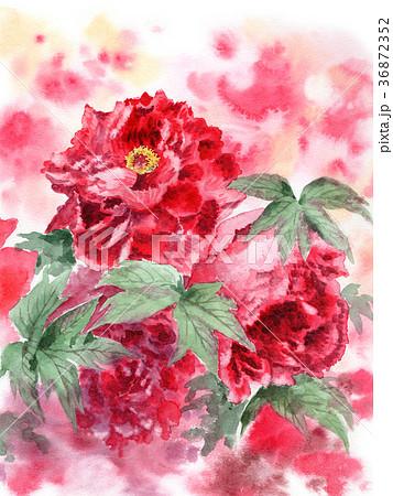 赤の大輪の牡丹の花 36872352