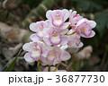 シンビジウム 蘭 花の写真 36877730
