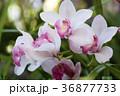 シンビジウム 蘭 花の写真 36877733