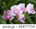 シンビジウム 蘭 花の写真 36877734
