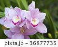 シンビジウム 蘭 花の写真 36877735