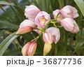 シンビジウム 蘭 花の写真 36877736