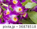 デンドロビウム デンドロビューム 花の写真 36878518