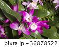 デンドロビウム デンドロビューム 花の写真 36878522