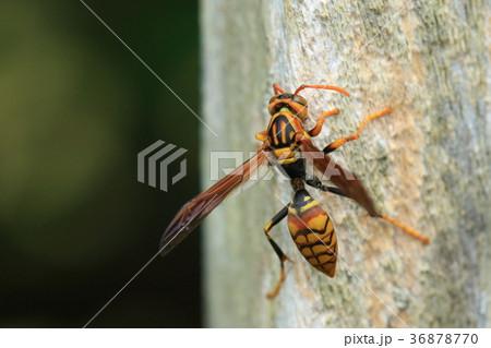 生き物 昆虫 オキナワセグロアシナガバチ、セグロアシナガバチの沖縄亜種。黒味が少ない・・・? 36878770
