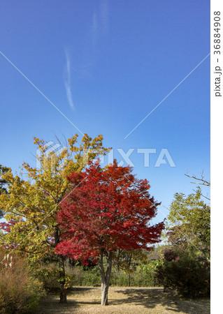紅葉したもみじ 秋の狭山丘陵 36884908