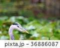 アオサギ サギ 鳥の写真 36886087