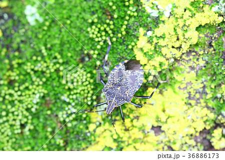 昆虫 カメムシ 亀虫 自然 虫 かめむし 苔 木 湿気 36886173