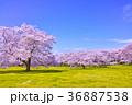 桜 木 花の写真 36887538