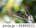 オオシオカラトンボ 36890521