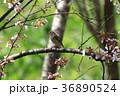 ジョウビタキ 36890524