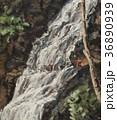 油絵 滝 流れのイラスト 36890939