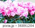 シクラメン桃 36891204