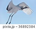 タンチョウ 飛ぶ 鶴の写真 36892384