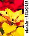 黄色いポインセチア、クリスマス 36893486