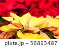 黄色いポインセチア、クリスマス 36893487