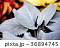 エンジェルウィングス、多肉植物、天使の羽 36894745