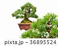 盆栽 五葉松 松の写真 36895524