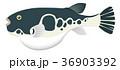 フグ 河豚 トラフグのイラスト 36903392